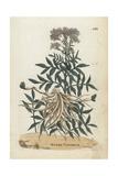 Water Valerian, Valeriana Aquatica Giclee Print