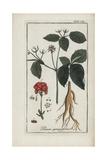 American Ginseng, Panax Quinquefolium Vulnerable Giclée-Druck