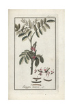 True Indigo Plant, Indigofera Tinctoria Giclee Print