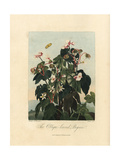 Oblique Leaved Begonia, Begonia Minor Giclee Print by Philip Reinagle