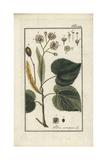 Lime Tree, Tilia X Europaea Giclee Print