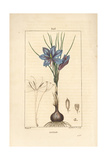 Saffron Crocus, Crocus Sativus Giclee Print by Pierre Turpin
