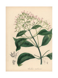 Quinine Bark Tree, Cinchona Officinalis Giclee Print by M.A. Burnett