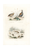 Grey Partridge, Red-Legged Partridge and Quail Reproduction procédé giclée par Edouard Travies