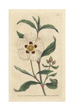 Gum Cistus or Rock Rose, Cistus Cyprius Giclee Print by James Sowerby