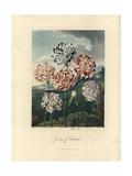 Carnations, Dianthus Caryophyllus Varieties Giclee Print by Peter Henderson