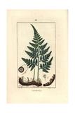 Leatherleaf Fern, Rumohra Adiantiformis Giclee Print by Pierre Turpin