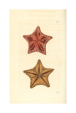 Red Cushion Sea Star, Oreaster Reticulatus Giclee Print by Richard Nodder
