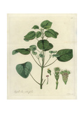 Smoketree Spurge, Euphorbia Cotinifolia Giclee Print by William Jackson Hooker