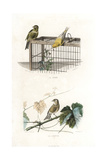 Canary and Linnet Giclee Print by Edouard Travies
