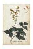 Barrenwort, Epimedium Alpinum Giclee Print