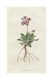 Silver-Edged Primula, Primula Marginata Giclee Print by Sydenham Edwards