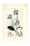 Radish, Raphanus Sativus Giclee Print by Pierre Turpin