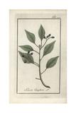 Camphor Tree, Cinnamomum Camphora Giclee Print