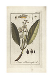Cherry Laurel, Prunus Laurocerasus Giclee Print