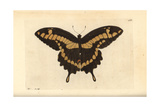 King Swallowtail Butterfly, Papilio Thoas Giclee Print by Richard Nodder