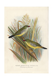 Green Avadavat, Amandava Formosa Giclee Print by Frederick William Frohawk