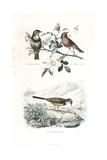 Bluethroat, Robin and Western Yellow Wagtail Giclee Print by Edouard Travies