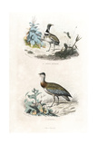 Little Bustard and Great Bustard Giclee Print by Edouard Travies