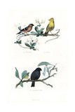 Eurasian Bullfinch, Yellowhammer and Black Bullfinch Giclee Print by Edouard Travies