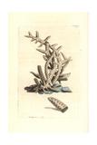 Seriated Madrepore Coral, Madrepora Seriata Giclee Print by Richard Nodder