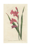 Common Corn Flag, Gladiolus Communis Giclee Print by James Sowerby
