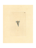 Sea Butterfly, Clio Pyramidata Giclee Print by Frederick Nodder