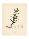 Hedgehyssop or Herb of Grace, Gratiola Officinalis Giclee Print by M.A. Burnett