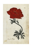 Crowfoot Poppy or Persian Buttercup, Ranunculus Asiaticus Giclee Print
