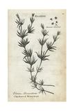 Whorled or Chickweed Waterwort, Elatine Alsinastrum Giclee Print