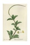 Radiator Plant, Peperomia Pereskiifolia Giclee Print by William Jackson Hooker