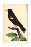 Red-Winged Blackbird, Agelaius Phoeniceus Giclee Print by Frederick Nodder