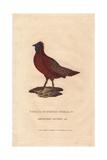Satyr Tragopan, Tragopan Satyra Giclee Print by Charles Hamilton Smith