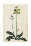Scotish Hawkweed or Hawksbeard, Crepis Praemorsa Giclee Print
