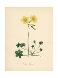 Goat's-Foot Wood Sorrel, Oxalis Caprina Giclee Print by M.A. Burnett