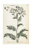 Greek Valerian or Jacob's Ladder, Polemonium Caeruleum Giclee Print