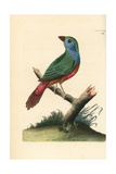 Pin-Tailed Parrotfinch, Erythrura Prasina Giclee Print by Richard Nodder