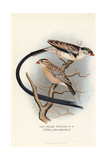 Pin-Tailed Whydah, Vidua Macroura Giclee Print by Frederick William Frohawk