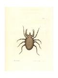 Pectinated Mite, Acarus Pectinatus Giclee Print by Richard Nodder