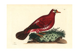 Crimson Pigeon, Columba Rosea Extinct Giclee Print by Richard Nodder