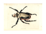 Royal Goliath Beetle, Goliathus Regius Giclee Print by Richard Nodder
