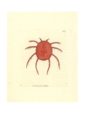 Red Water Spider or Scarlet Hydrachna, Hydrachna Coccinea Giclee Print by George Shaw