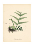 Male Fern, Dryopteris Filix-Mas Giclee Print by M.A. Burnett