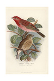 Scarlet Rose-Finch, Carpodacus Erythrinus Giclee Print by Frederick William Frohawk