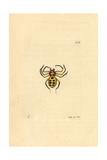 Golden Spider, Aranea Nobilis, Sumatra Giclee Print by George Shaw