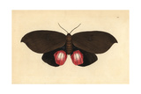 Augusta Moth, Phalaena Augusta Giclee Print by George Shaw
