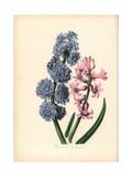Hyacinth, Hyacinthus Orientalis Giclee Print by M.A. Burnett