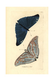 Adonis Blue Butterfly, Polyommatus Bellargus Giclee Print by Richard Nodder