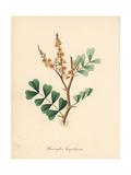 Logwood Tree, Haematoxylum Campechianum Giclee Print by M.A. Burnett