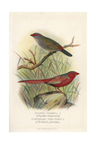 Red-Browed Finch and Crimson Fire Finch Giclee Print by Frederick William Frohawk
